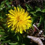Löwenzahn (taraxacum officinale)_Blüte