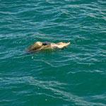 Meeresschildkröte in Quepos