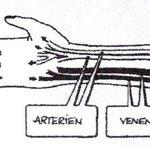 Bild 2. Normaler Aterien-/und Venenverlauf