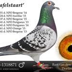 """""""Rafelstaart"""". Zoon van De 30 en de Lichte Ventoux. Won onder andere 31e NPO Bergerac."""
