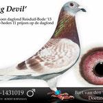 """""""Young Devil"""". Een dagfondduif via vader Gerard. Won 13 prijzen op de dagfond en werd duifkampioen in de vereniging."""