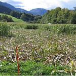 Schwarzwildschäden in der landw. Kultur
