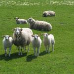 Nutztiere die ohne Aufsicht gefährdet sein können