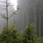 Verbissschäden im Wald