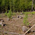 Junge Bäume in unserem Wald