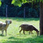 Die Schafe...