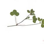 100°, 2013, Buntstift und Pflanzen auf Papier, 21×29,7cm