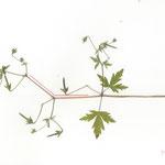 140°, 2013, Buntstift und Pflanzen auf Papier, 21×29,7cm