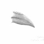 Rhyticeros undulatus, 2013, Bleistift auf Papier, 29,7×42cm