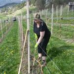 Carmen (Weinhof Strad) beim Jäten