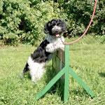 Schapendoes Pauli macht ie ersten Versuche im Hundesport