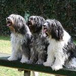 Schapendoes / drei Generationen im Hundeverein