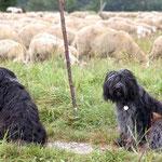 Schapendoes Eika und Maja an der Herde in Königsbrunn