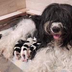 Schapendoes Maxima in der Wurfkiste mit ihren Kleinen