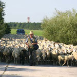 Schapendoes Eika an der Herde mit Hannes