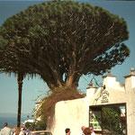 Drachenbaum, Icod de los Vinos, Teneriffa