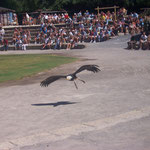 Greifvogel-Show, Jungle Park, Arona, Teneriffa