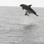 Delfin, Los Gigantes, Teneriffa