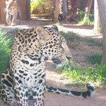 Wildkatze, Jungle Park, Arona, Teneriffa