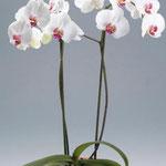 Орхидеи - Водолей