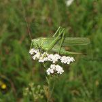 Heuschreckenkartierung: Grünes Heupferd (Tettigonia viridissima), Weibchen