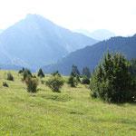 Allgäuer Alpen: Kuhweide mit Augentrost und Silberdistel