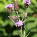 Schmetterlingskartierung: Brauner Feuerfalter (Lycaena tityrus), Männchen