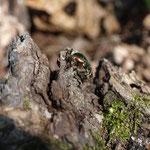 Rosenkäfer (Cetoniinae) auf liegendem Totholz