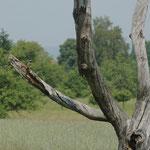 Gartenrotschwanz (Phoenicurus phoenicurus), Männchen, Brut in Stammhöhle rechts
