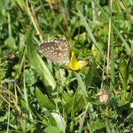 Schmetterlingskartierung (Allgäuer Alpen): Silbergrüner Bläuling (Polyommatus coridon), Weibchen