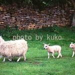 56:羊3匹 @イギリス・コッツウォルズ地方