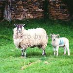 55:羊2匹 @イギリス・コッツウォルズ地方