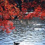 23:紅葉と池 @東京・吉祥寺