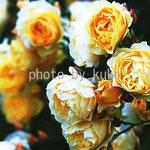 47:黄色バラ @ロンドン
