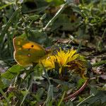 Gele Luzerne vlinder (Colias Hyale)