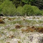 Heidemoor bei Weißenseifen mit Fruchtständen des Wollgrases