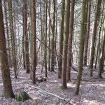 Fichten-Stangenacker auf der zweiten Waldfläche vor der Holzernte