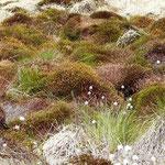 Moorbulte im Heidemoor