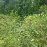 Laubholz-Naturverjüngung - hier mit jungen Bergulmen - ist bereits reichlich vorhanden