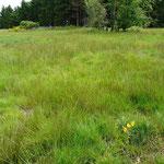 Die gleiche Fläche im Sommer 2012: wieder vollständig begrünt und mit Arnika im Vordergrund