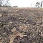 Die Wurzelstöcke werden bis zur Bodenoberfläche abgefräst, um in Zukunft ein Mähen der Fläche zu ermöglichen.