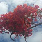 ホウオウボク(南洋桜)