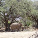 Wüstenelefant im Ugab
