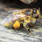 Biene mit Pollenhose