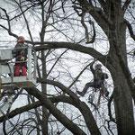 Potatura acrobatica dei tigli secolari nel parco - Ombelico - Birreria con Cucina a Rivoli - 6
