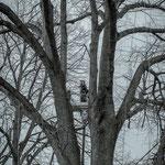 Potatura acrobatica dei tigli secolari nel parco - Ombelico - Birreria con Cucina a Rivoli - 3
