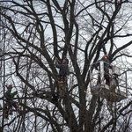 Potatura acrobatica dei tigli secolari nel parco - Ombelico - Birreria con Cucina a Rivoli - 8