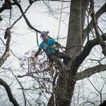 Potatura acrobatica dei tigli secolari nel parco - Ombelico - Birreria con Cucina a Rivoli - 5