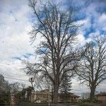 Potatura acrobatica dei tigli secolari nel parco - Ombelico - Birreria con Cucina a Rivoli - 13