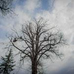 Potatura acrobatica dei tigli secolari nel parco - Ombelico - Birreria con Cucina a Rivoli - 9